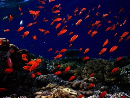 Orange School Of Fish
