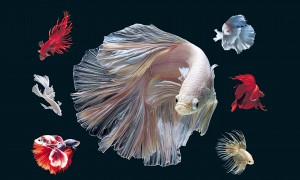 Desktop Wallpaper: White Fighting Fish