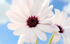 Desktop Wallpaper: White Flowers With P...