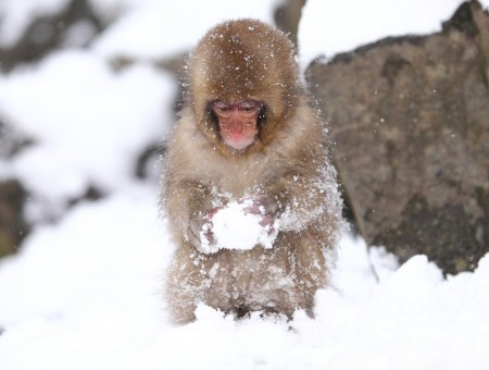 Brown Small Monkey Forming Snow Ball