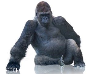 Desktop Wallpaper: Black Gorilla Sittin...