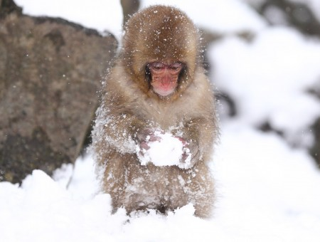 Brown And Tan Primate Holding A Snowball While Standing In The Snow