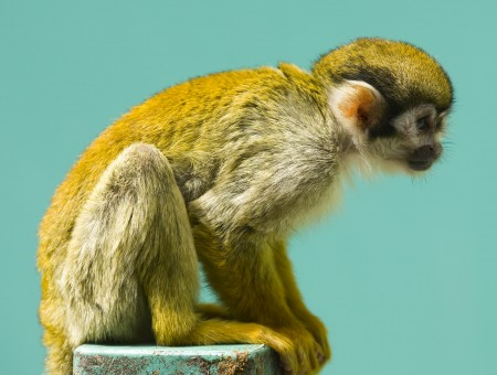 Yellow And Brown Monkey Sitting On Blue Rock