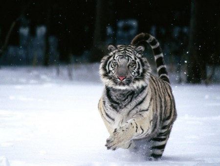 Tiger Running On White Snow Covered Ground During Daytime