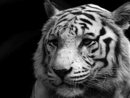 Tiger In Grayscale