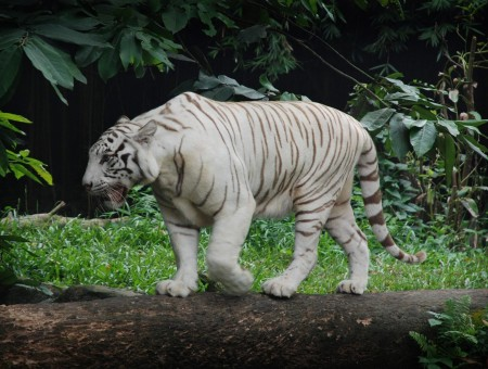 Albino Tiger Walking On Brown Log Near Green Grass