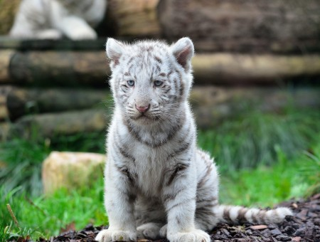 White And Gray Tiger Cub Sitting On Grass