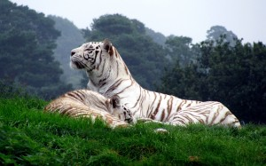 Desktop Wallpaper: Albino Tiger Lying O...