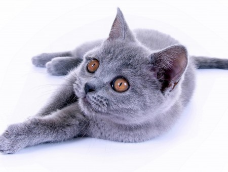 Gray Blue Russian Cat
