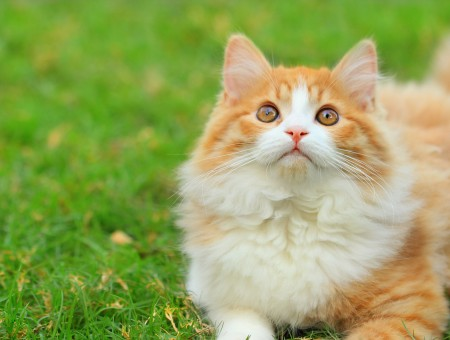 Orange And White Tabby Cat On Green Grass