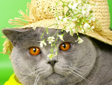 Russian Blue Cat With Brown Hat