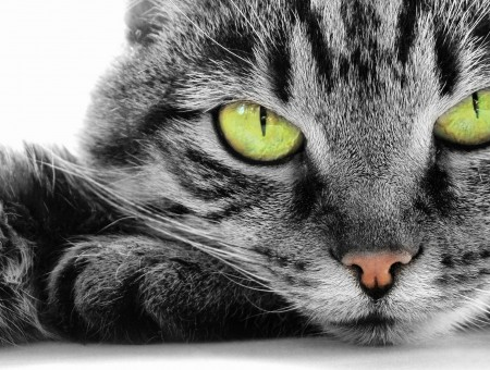 Gray And Black Tabby Cat In Close Up Photography