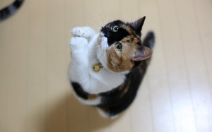 Desktop Wallpaper: Calico Kitten Standi...
