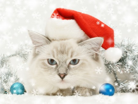 Gray And White Short Haired Cat With Santa Hat
