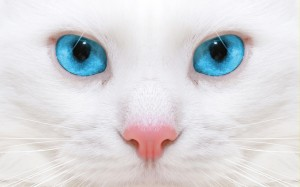 Desktop Wallpaper: Blue Eyes White Cat