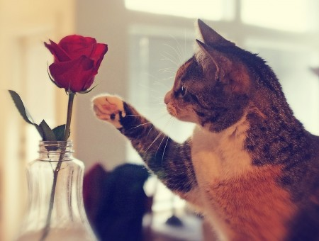 Brown White Orange Cat Beside Red Rose On Clear Glass Vase