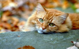 Desktop Wallpaper: Orange Tabby Maine C...
