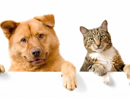 Brown Long Coated Large Dog And Gray Tabby Cat