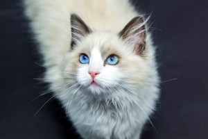 Desktop Wallpaper: Himalayan Cat Lookin...
