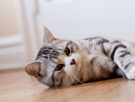 Grey Tabby Cat On Brown Wooden Floor Near White Wall