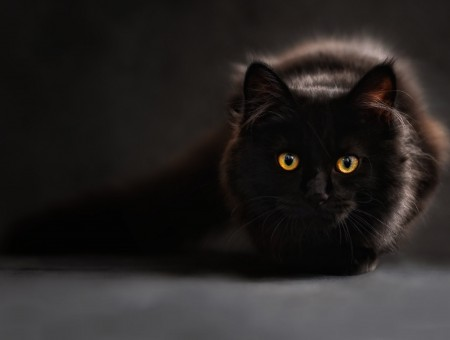 Black Cat In Shallow Focus Lens