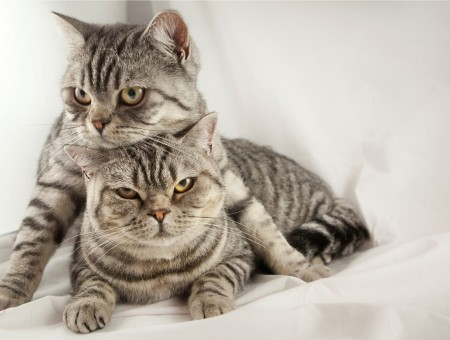 Silver Tabby Cats Lying On Bed