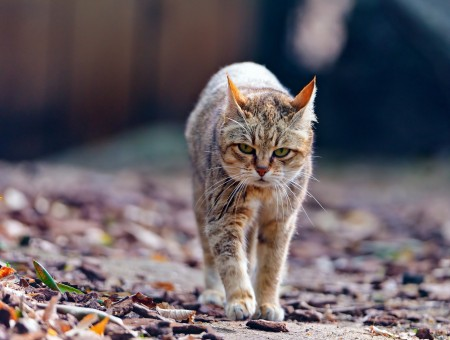 Gray And Brown Cat Walking During Daytime