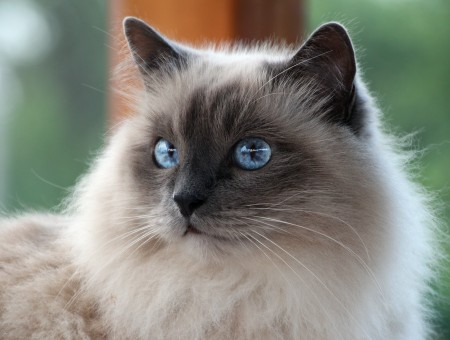 White And Brown Himalayan Cat