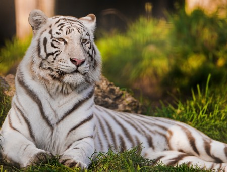 White Tiger On The Green Grass
