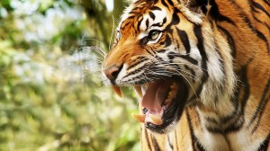 Desktop Wallpaper: Growling Tiger