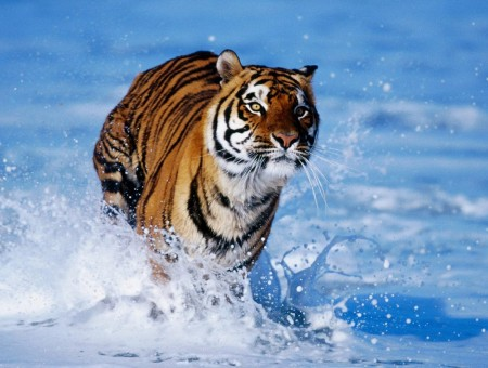 Tiger Running In Blue Water During Daytime