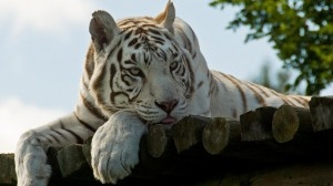 Desktop Wallpaper: White Tiger Lying On...