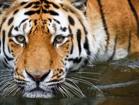 Orange And White Tiger On Body Of Water