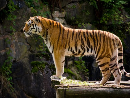 Orange Tiger Standing On Wooden Plank