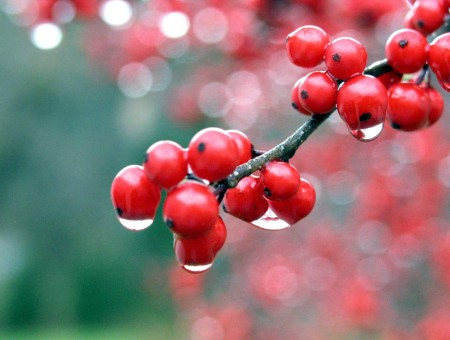Red Round Small Sized Fruits On Tree Branches With Water Drops Macro Photography