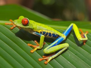 Desktop Wallpaper: Green Dart Frog Perc...