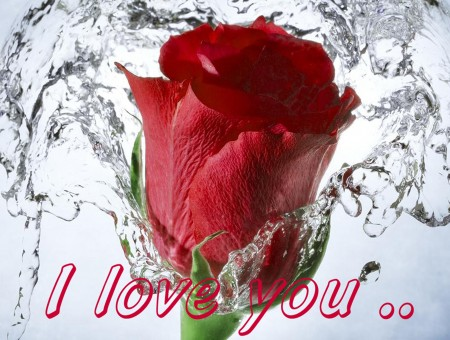 Red Rose With Water Splash And I Love You Text In The Bottom