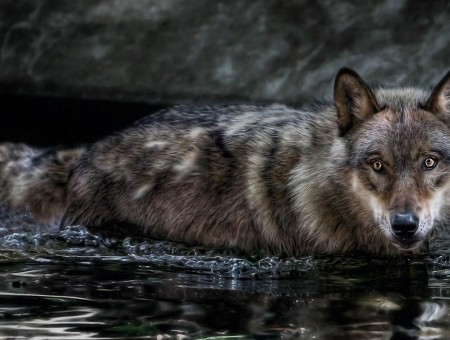 Grey And White Wolf On The River