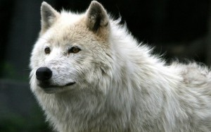 Desktop Wallpaper: White Arctic Wolf Du...