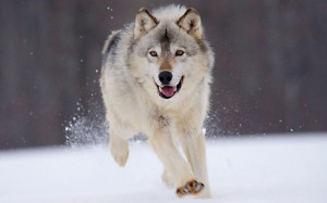 Desktop Wallpaper: Brown Wolf On Snow D...