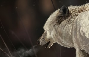 Desktop Wallpaper: White And Gray Wolf ...