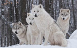 Desktop Wallpaper: White Wolves On Whit...
