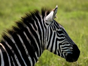 Desktop Wallpaper: Zebra Near Green Gra...