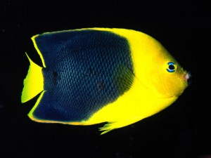 Desktop Wallpaper: Blue-yellow Fish
