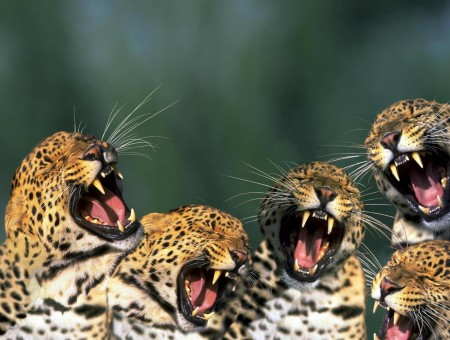 Picture Of 5 Leopards