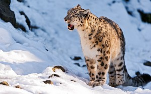Desktop Wallpaper: Snow Leopard On Whit...