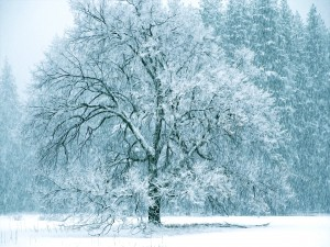 Desktop Wallpaper: Snowy Tree In Middle...