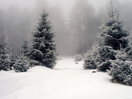 Pine Trees On Snow Covered Ground With Fogs