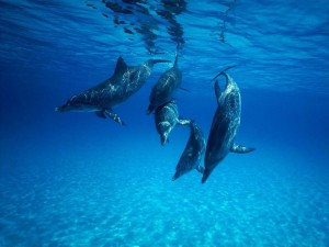 Desktop Wallpaper: Dolphins Undersea