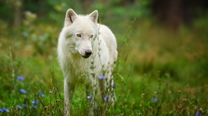 Desktop Wallpaper: White Wolf Standing ...